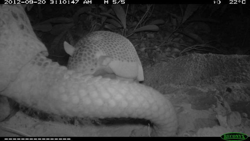 Baby giant armadillo 20th of September 2 Small