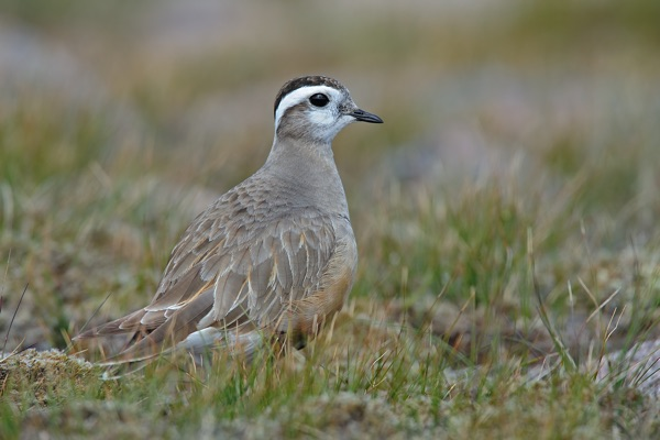 dotterel-blair.jpg