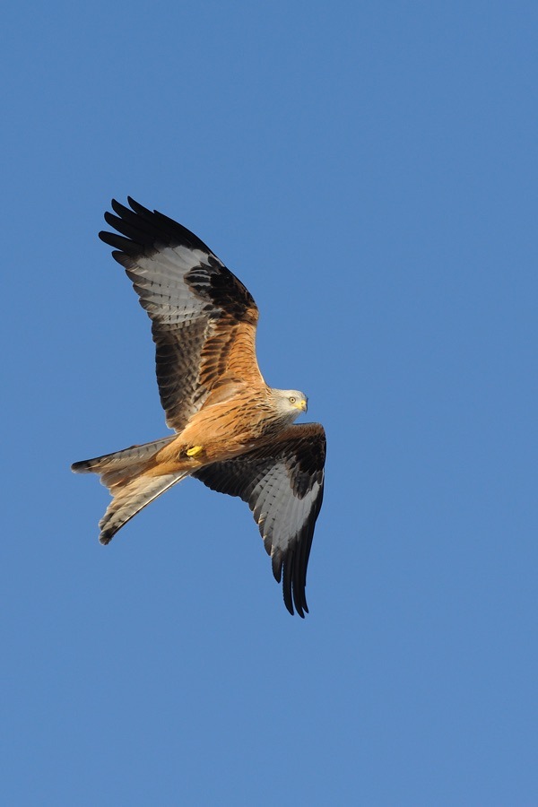 red-kite-2-portrait.jpg