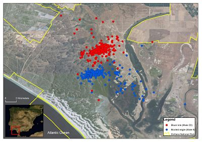GPS_location_of_a_breeding_Black_kite_male_and_a_breeding_Booted_eagle_male_opt.jpg