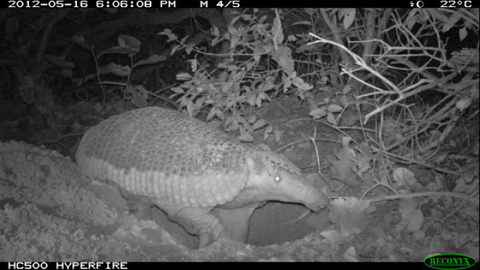 Giant Armadillo Camera trap