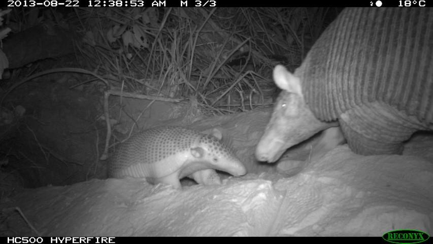Baby giant armadillo 2