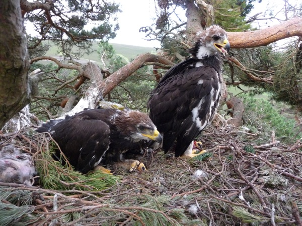 golden-eagle-chicks.jpg